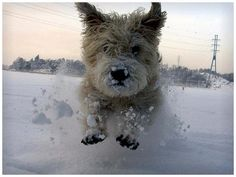 Dog running in snow Glen Of Imaal Terrier, Terrier Dogs, Cairn Terriers, Irish Dog Breeds, Running In Snow, Dogs And Puppies, Doggies, Different Dogs, Cairn Terrier