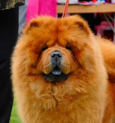Chow Chow ~ reminds me so much of my Sheba;  I miss her so