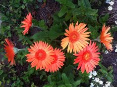 How to Grow Gerbera Daisies: 4 Steps (with Pictures) - wikiHow