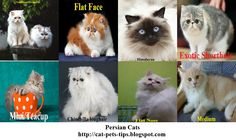 For more detail about persian cats please visit in here http://cat-pets-tips.blogspot.com/2016/08/persian-cat-knowing-history-types-care.html