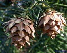 Cunninghamia lanceolata mature cones