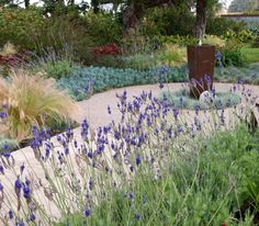 Beautiful garden- and fresh lavender is so easy to grow and smells wonderful!
