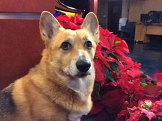 Lookin' good by our holiday poinsettias