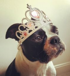 All dogs deserve their own crowns or tiaras!!!      ..