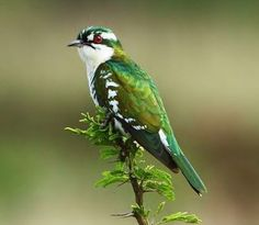 Birds of the World: Dideric cuckoo, found in sub-Saharan Africa, from southern Mauritania, Mali, Niger, Chad and Sudan to South Africa.