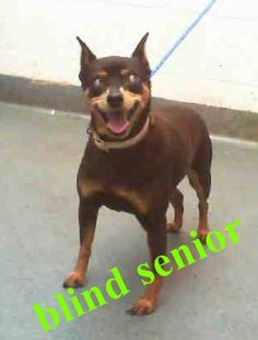 PRINCESS (A1691378) I am a spayed female black and tan Miniature Pinscher. The shelter staff think I am about 3 years old and I weigh 12 pounds. I was found as a stray and I may be available for adoption on 04/17/2015. Miami Dade https://www.facebook.com/urgentdogsofmiami/photos/pb.191859757515102.-2207520000.1428789861./961015143932889/?type=3&theater