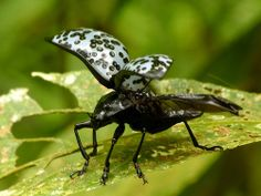 Pleasing fungus beetle, Cypherotylus or Erotylus sp.