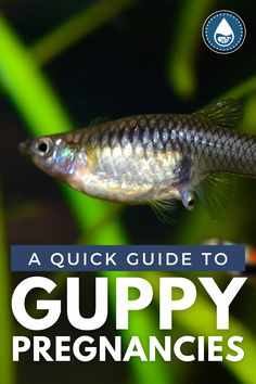 Healthy Delivery, Pregnancy Progression, Tropical Freshwater Fish, Guppy, Tanks, Period, Popular, Easy, Check