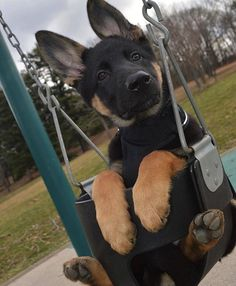 german Shepard puppy in a swing