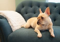 I want a French Bulldog soo bad! I'd name her Canolli and she'd be my princess!