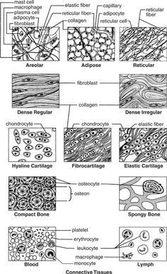 Body Systems - Tissues