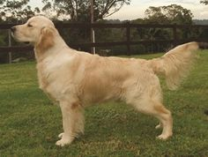 DESCRIPTION Symmetrical, balanced, active, powerful, level mover; sound with kindly expression HISTORY In 1865 the first yellow retriever was purchased and breed with Tweed Water Spaniel in 1868 in England and Scotland. These … Read more