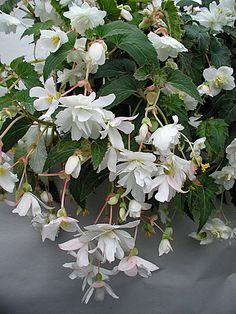 Цветок Бегония Лапландия (ампельная) Растение с 5-8 свисающими ветками (длина побега около 45 см). Цветки крупные до 8 см. в диаметре, махровые и полумахровые, белоснежного цвета. Бегония теплолюбивая, предпочитает влажную почву и хорошо освещённые места.