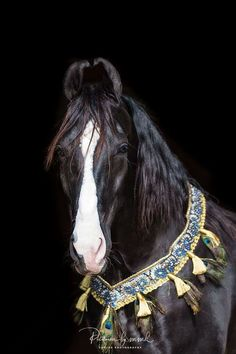 Gorgeous black Marwari horse, showing the distinctive inward curling ears and wearing a blue and gold decorative native collar. Horses And Dogs, Show Horses, Most Beautiful Animals, Beautiful Horses, Ground Work For Horses, Marwari Horses, Winter Horse, Cowboy Horse, Majestic Horse