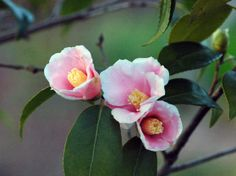 Flower Bird, Exotic Plants, What A Wonderful World, Camellia, Wonders Of The World, Peonies, Beautiful Flowers, Cherry, Birds