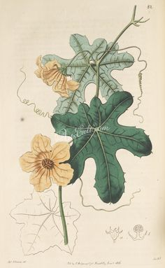 082-bryonia quinqueloba, Five-fingered Cape Bryony Barren-flowered      ...