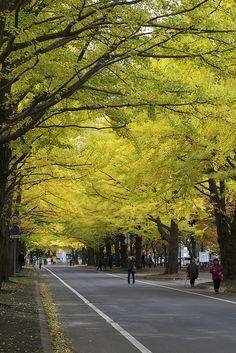 Gingko Avenue in Hokkaido University, Sapporo, Japan 北大銀杏並木 Beautiful World, Beautiful Places, Beautiful Pictures, Amazing Places, Places To Travel, Places To See, Japanese Lifestyle, Street Trees, Thing 1