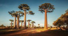www.athenas.it/il-baobab-lalbero-della-vita/