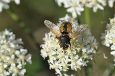 Nieuw in mijn Werk aan de Muur shop: Honingbij op bloem