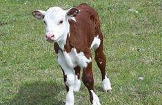 Inquietud: Imágenes muestran un ternero con rasgos humanoides | Argentina Cow, Animals, Adorable Animals, Animales, Animaux, Animal, Animais