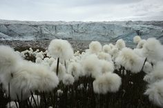 cotton grass near the glacial ice toe, 07/14/2013, Kangerlussuaq, Greenland ~ photo by Joe Raedle/Getty Images