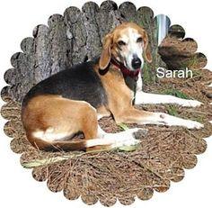 Norfolk, VA - Treeing Walker Coonhound. Meet Sarah a Dog for Adoption.