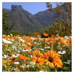 Volunteer withVia Volunteers in South Africa and check out the beautiful daisies in the Kirstenbosch Botanical Gardens near Cape Town!