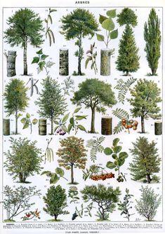 TREES - Vintage BOTANICAL Poster - French Color Illustration - 1930