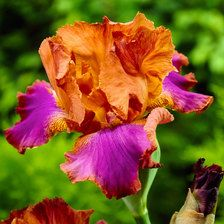 Advice on everything gardening Hardy Perennials, Hardy Plants, Iris Flowers, Planting Flowers, Buy Flowers, Pink Flowers, Amazing Flowers, Beautiful Flowers, Decoration Plante