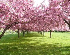 Brooklyn Botanical Garden Botanical Gardens Pink Blossom Cherry Blossoms Blossom Trees