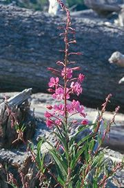 Pacific NW Native Plants (Fireweed shown)
