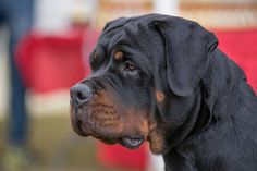 Close-Up Of Rottweiler Looking Away