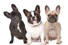 Resultado de imagem para bulldog francês preto