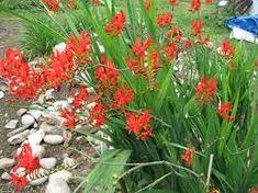 Resultado de imagem para montbretia flower