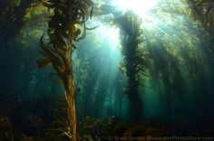 giant kelp forest California   California Kelp Forest  underwater forest