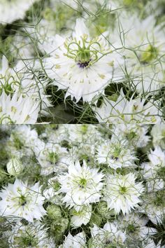 Filler flower or the main event, adding these delicate but important blooms will help you customise your display. Head on over to our blog to view. #wholesaleflowers #flowerwholesaler #bonbloemen #flowers #flowersupplier #delicateblooms #delicateflowers #forgetmenot #nigella #loveinamist #astrantia #waxflower #plantsupplier #plantwholesaler #gardenflowers #flowers #floral #northeast #floristry #flowermarket #slowfloralstyle #floralfix #florallove #florallife #blooms #floralphotography Astrantia, Wax Flowers, Floral Photography, Flower Market, Nigella, Floral Style, Mists, Delicate, Bouquet