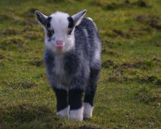 A fluffy baby goat<3