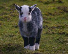 yup, I'm gettin a goat