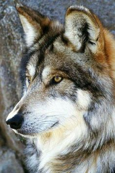 STOP STOP STOP STOP KILLING THE WOLVES!!