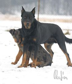 Beauceron. I would love to have both colors because they are beautiful!