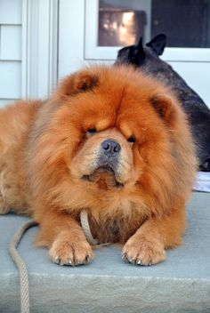 A Garden Tour for the NYBG School of Professional Horticulture Lion Dog, Dog Cat, Beautiful Dogs, Animals Beautiful, Cute Baby Animals, Animals And Pets, Chow Chow Dogs, Buy Puppies, Fluffy Dogs
