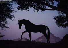 Марвари - фотографии - equestrian.ru