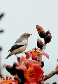灰背椋鳥 (噪林鳥)  White-shouldered Starling (Sturnus sinensis), female ※冬候鳥, photo by 光影