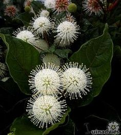 Cephalanthus of kogelbloem lokt vlinders en bijen - struiken snoeien van Cephalanthus - soorten witte bloemen die geuren