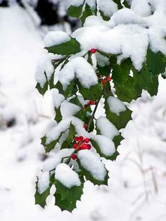The holly and the berries in the snow. (via Winter Wonderland) Winter Szenen, I Love Winter, Winter Magic, Winter Time, Winter Season, Winter Christmas, Holly Christmas, Christmas Calendar, Winter Holidays