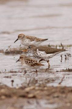 gotta learn my Sandpipers - Western, Spotted, and Least (back to front)