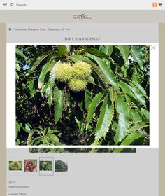 Chestnut trees for sale