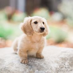"""From & """"Mochi is a miniature cream long haired dachshund who resides in Southern California. Dachshund Puppies, Cute Puppies, Pet Dogs, Dogs And Puppies, Golden Dachshund, Doggies, Cream Dachshund, Dachshund Gifts, Weiner Dogs"""