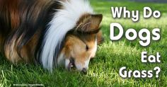 Dr. Karen Becker explains why dogs eat grass. Learn the reasons behind this popular dog behavior from the video presented in this article.
