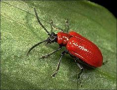 How to get rid of Japanese Beetles and red Lilly beetles organically. They are killing my lilies this year!